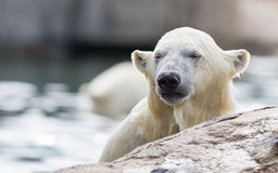Close-up of a polarbear Stock Photo