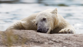 Close-up of a polarbear Royalty Free Stock Image