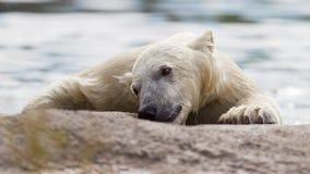 Close-up of a polarbear. Enjoying the water Royalty Free Stock Image