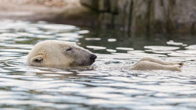 Close-up of a polarbear. Enjoying the water Stock Photo
