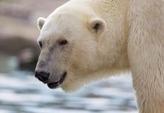 Close-up of a polarbear Stock Photos