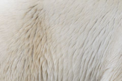 Close-up of a polarbear Stock Image