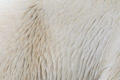 Close-up of a polarbear. Close-up of the fur of a polarbear Stock Image