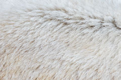 Close-up of a polarbear. Close-up of the fur of a polarbear Stock Images