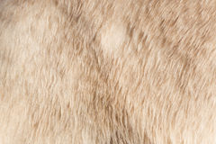Close-up of a polarbear Royalty Free Stock Photo