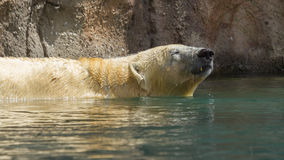 Close-up of a polarbear (icebear). In capticity (Holland Stock Images