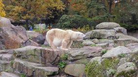 Close-up of a polarbear icebear in capticity Royalty Free Stock Photos