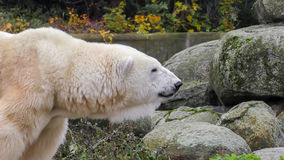 Close-up of a polarbear icebear in capticity Royalty Free Stock Photos