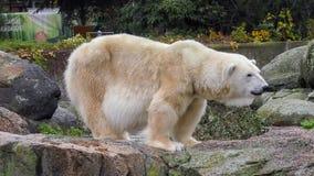 Close-up of a polarbear icebear in capticity Royalty Free Stock Photo
