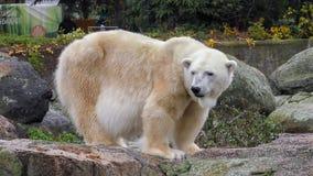 Close-up of a polarbear icebear in capticity. Berlin Stock Photo