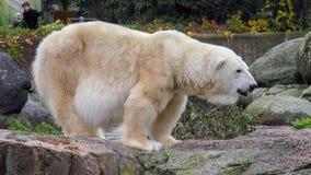 Close-up of a polarbear icebear in capticity Stock Image
