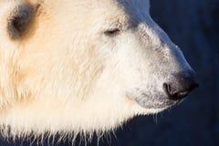 Close-up of a polarbear icebear Stock Photo