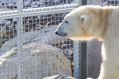 Close-up of a polarbear icebear. In capticity Holland Stock Photography