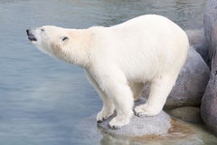 Close-up of a polarbear (icebear) Royalty Free Stock Images