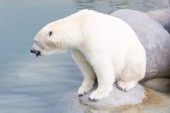 Close-up of a polarbear (icebear). In captivity Stock Images