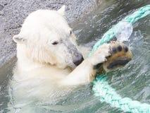 Close-up of a polarbear (icebear) Stock Photo