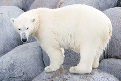 Close-up of a polarbear (icebear) Royalty Free Stock Photos