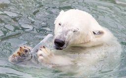 Close-up of a polarbear (icebear). In captivity Royalty Free Stock Image