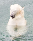Close-up of a polarbear (icebear) Stock Photos
