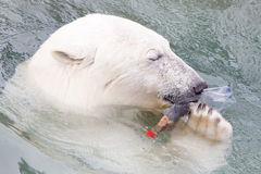 Close-up of a polarbear (icebear) Royalty Free Stock Photos