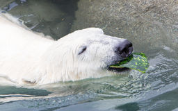 Close-up of a polarbear (icebear) Stock Photography