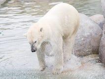 Close-up of a polarbear (icebear) Royalty Free Stock Photo