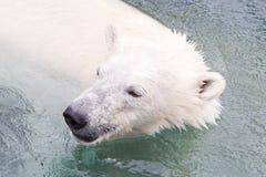 Close-up of a polarbear (icebear). In captivity Royalty Free Stock Photos