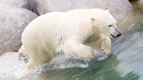 Close-up of a polarbear (icebear) jumping in the water Stock Photos