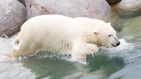 Close-up of a polarbear (icebear) jumping in the water Stock Photography