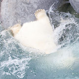 Close-up of a polarbear (icebear) jumping in the water Stock Image