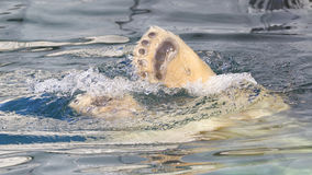 Close-up of a polarbear icebear jumping in the water. Close-up of a polarbear icebear in captivity jumping in the water Royalty Free Stock Image