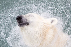 Close-up of a polarbear (icebear), selective focus on the eye. Close-up of a polarbear (icebear) in captivity, selective focus on the eye Royalty Free Stock Image