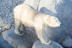 Close-up of a polarbear icebear, selective focus on the eye Royalty Free Stock Images