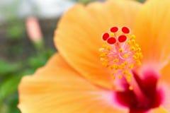 Close up pollen with blur orange Hibiscus rosa sinensis royalty free stock photos