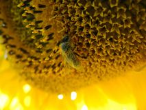 Close up of a honey bee on a sunflower, covered with pollen. Royalty Free Stock Photos