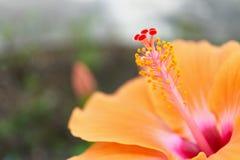 Close up pollen of orange Hibiscus rosa sinensis stock photography