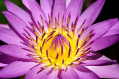 Close up pollen purple lotus flower blooming in the pond. Royalty Free Stock Images