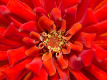 Close up pollen of red flower Stock Photo