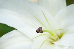 Close-up of the pollen of a white lilly Stock Photography