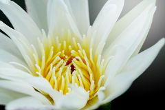 close up pollen white water lily or white lotus. Royalty Free Stock Images