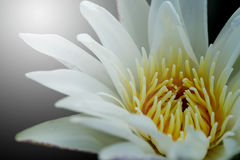 Close up pollen white water lily or white lotus. Stock Photography