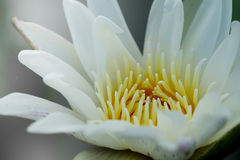 Close up pollen white water lily or white lotus. Stock Photo
