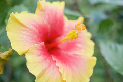 Close up pollen of yellow and pink Hibiscus Stock Image
