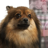 Close-up of Pomeranian, 2 years old Stock Image