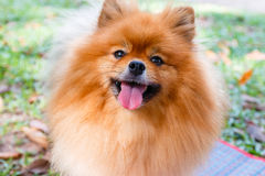 Close up of Pomeranian dog on green grass Royalty Free Stock Photography