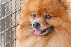 Close up of Pomeranian dog waiting for owner Stock Photo