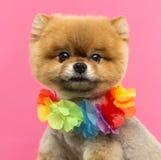 Close-up of a Pomeranian dog wearing a Hawaiian lei Stock Photo