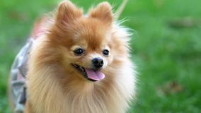 Close up of pomeranian Spitz royalty free stock photo