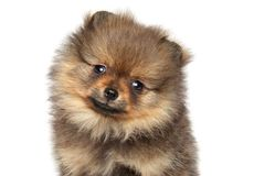 Pomeranian spitz puppy. Baby animal theme Royalty Free Stock Images