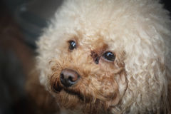 Close up Poodle face in China Stock Photo
